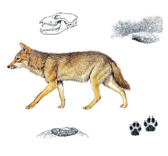 Шакал - Canis aureus