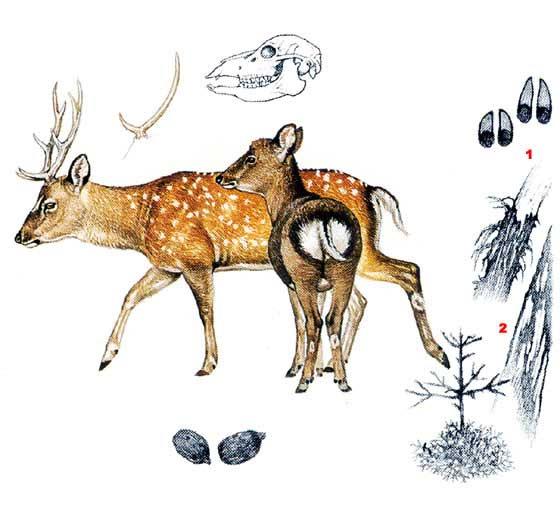 Пятнистый олень - Cervus nippon